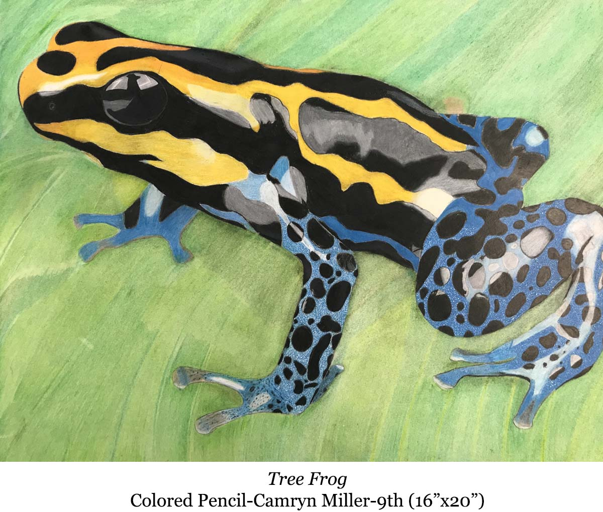 1588002934-tree_frog-colored_pencil-camryn_miller-9th__16_x20__