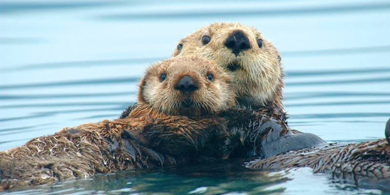 Content_1600460767-sea-otter2004-by-ryan-wolt-ma-043219-21